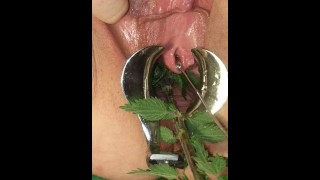 BDSM Pussy Torture - Speculum Stretched Nettles in her Peehole & Vagina Till she pisses herself